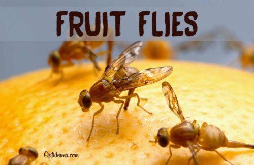 Do Fruit Flies Bite?