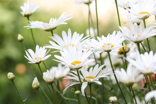 chamomile essential oil for baby skin rashes
