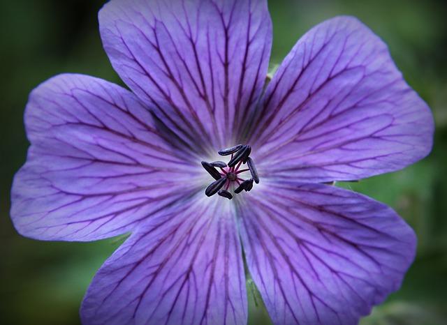Geranium essential oil for psoriasis