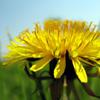Herbal remedies for skin: Dandelion