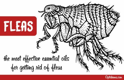 Best essential oils for fleas