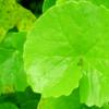 Gotu kola herbal remedies for skin
