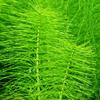 horsetail skin herb