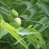 herbal remedies for skin: neem