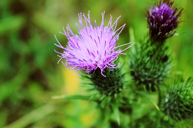 Milk Thistle for Psoriasis