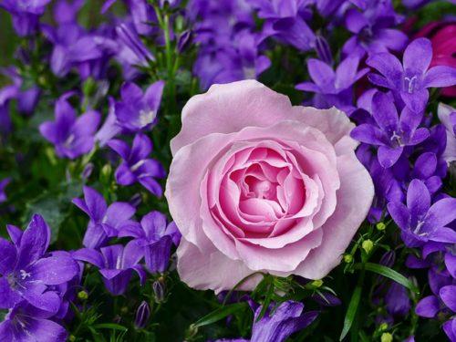 Rose essential oil for skin rashes