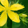Herbal remedies for skin: Saint John Wort