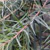 Herbal remedies for skin: Tea Tree