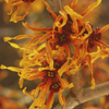 Witch Hazel is one of the best anti-inflammatory herbs for skin