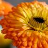 calendula is one of the best anti-inflammatory herbs for skin