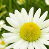 Chamomile is one of the best anti-inflammatory herbs for skin