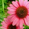 Herbal remedies for skin: Echinacea