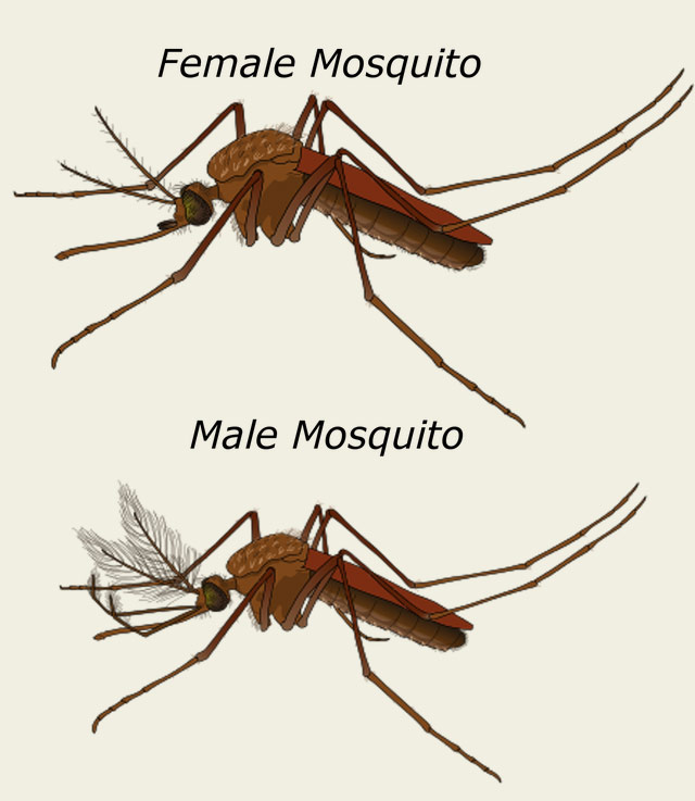 Female and Male Mosquitoes