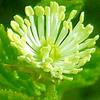 goldenseal herb for skin