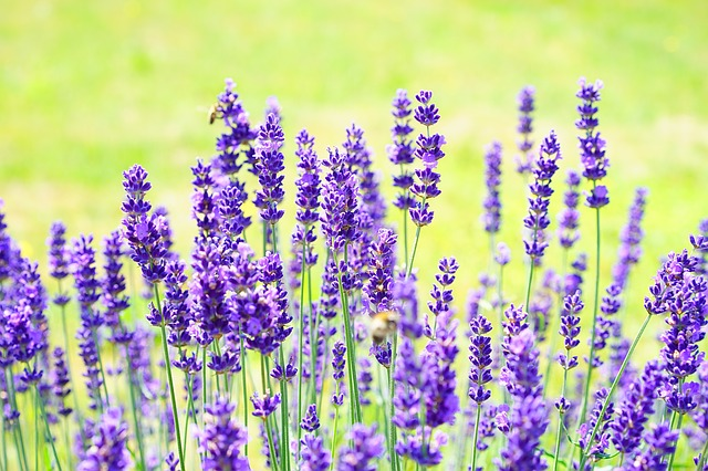 Lavender essential oil for baby skin rashes