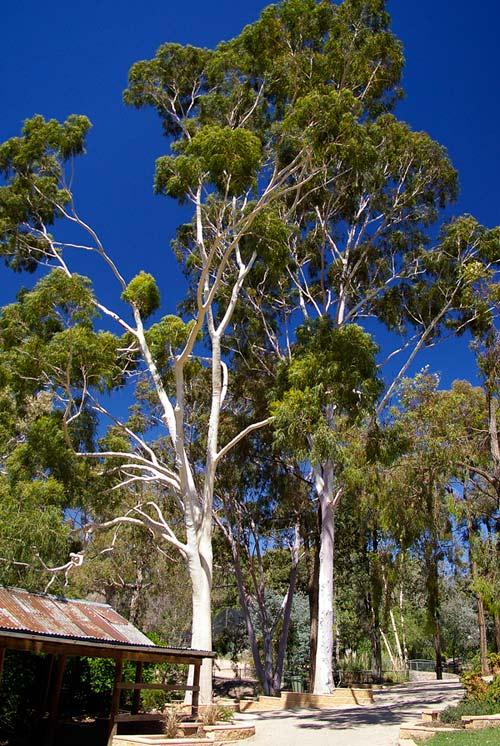 Lemon Eucalyptus Tree