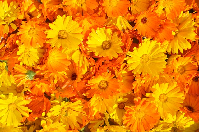 Calendula for skeeter syndrome