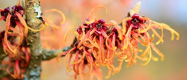 Witch Hazel for Itchy Skin